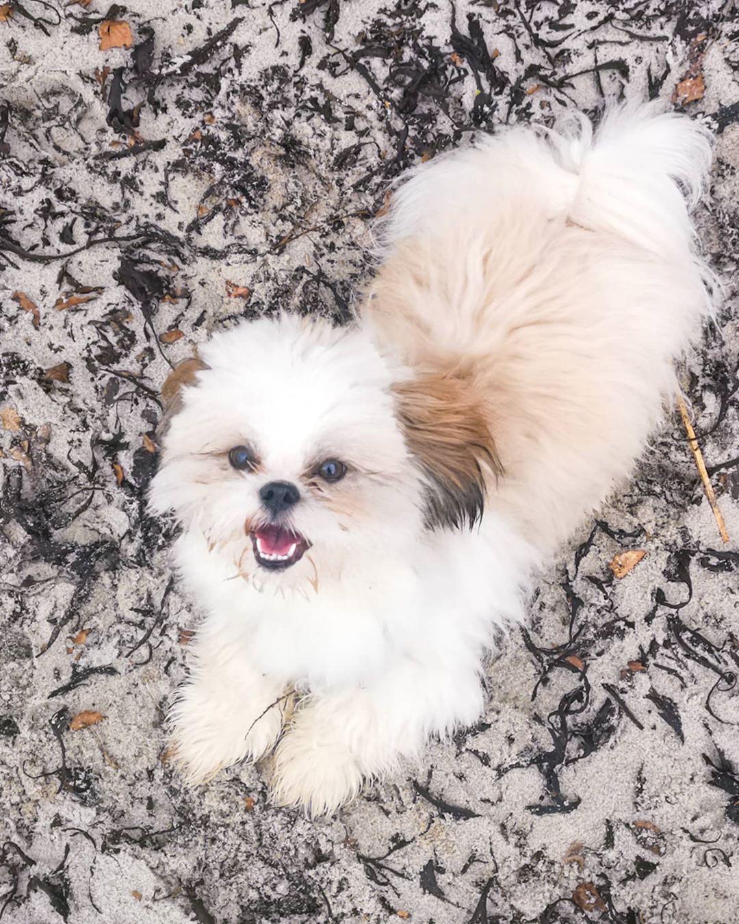 Et billede af chido en hund af racen shihtzu tidligere salgschef i TRIBE media